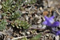 Linaria alpina subsp alpina