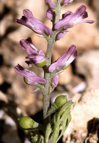 Fumaria officinalis subsp. wirtgenii