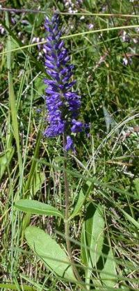 Veronica spicata subsp. spicata