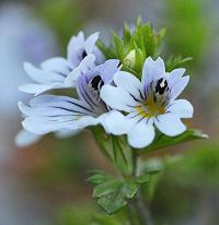 Euphrasia alpina