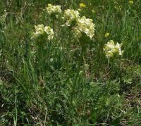 Pedicularis tuberosa