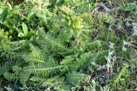 Pedicularis comosa subsp. schizocalyx