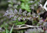 Pedicularis sylvatica subsp. sylvatica