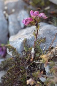 Pedicularis pyrenaica