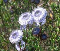 Globularia alypum