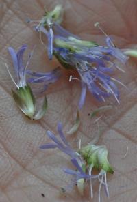 Globularia nudicaulis