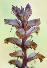 Orobanche amethystea