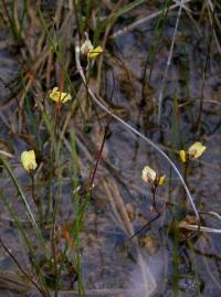 Utricularia minor