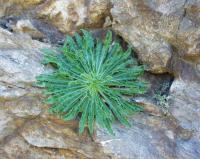 Campanula speciosa subsp speciosa