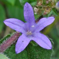 Campanula trachelium subsp. trachelium