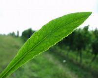 Campanula persicifolia subsp. persicifolia