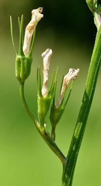 Campanula rapunculus