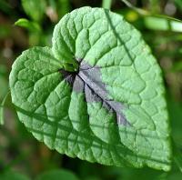 Phyteuma pyrenaicum