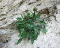 Phyteuma charmelii
