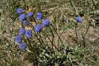 Jasione laevis subsp laevis