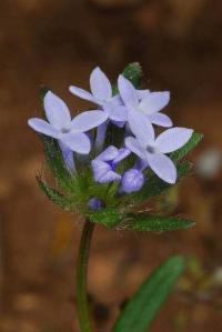 Asperula arvensis