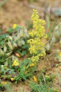 Galium verum subsp verum