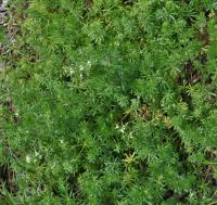 Galium mollugo subsp. erectum