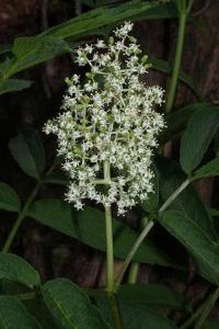 Sambucus racemosa