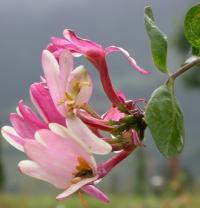 Lonicera periclymenum subsp. periclymenum