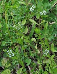 Valerianella locusta subsp. locusta