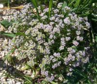 Valerianella pumila