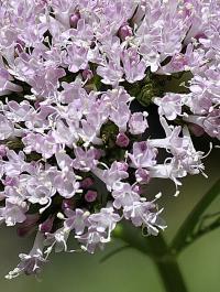 Valeriana officinalis subsp. collina