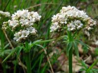 Valeriana dioica subsp. dioica