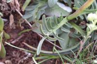 Valeriana tuberosa