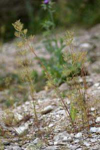 Centranthus calcitrapae subsp. calcitrapae