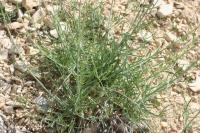 Centranthus lecoqii