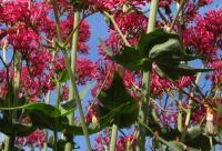 Centranthus ruber subsp. ruber