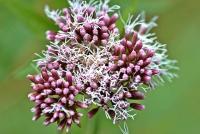 Eupatorium cannabinum subp. cannabinum