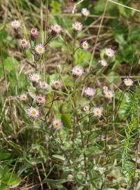 Erigeron acer subsp acer