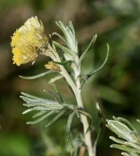Helichrysum stoechas subsp stoechas
