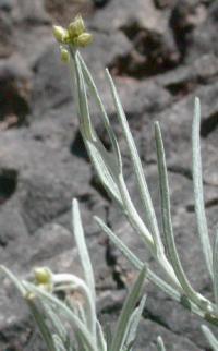 Phagnalon sordidum