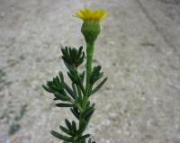 Inula crithmoides