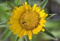 Pallenis spinosa subsp spinosa