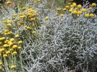 Santolina chamaecyparissus subsp squarrosa