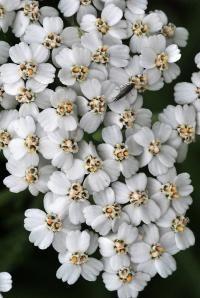 Achillea millefolium subsp. millefolium