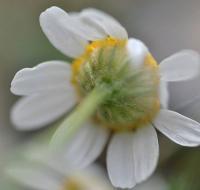 Matricaria maritima subsp. inodora