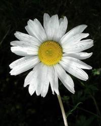 Matricaria maritima subsp. maritima