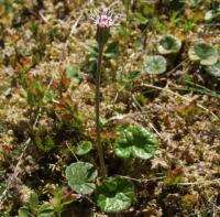 Homogyne alpina