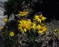 Senecio pyrenaicus