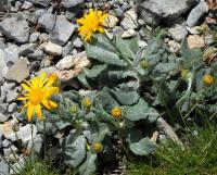 Senecio doronicum subsp. doronicum