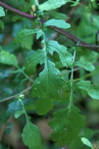 Senecio aquaticus subsp. erraticus