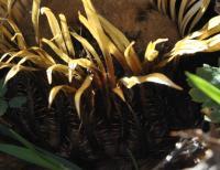 Carlina acanthifolia subsp cynara