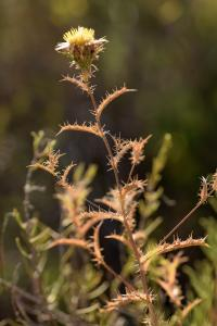 Carlina corymbosa subsp. corymbosa
