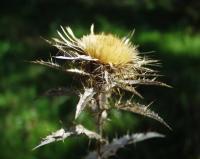 Carlina vulgaris subsp vulgaris