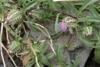 Atractylis cancellata subsp. cancellata